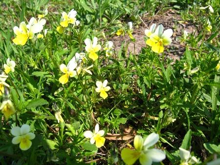 the image of  many beautiful yellow buttercups Stock Photo - 16603226