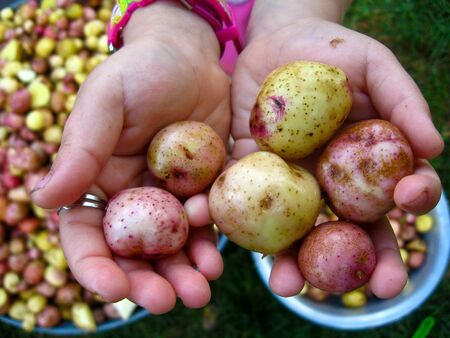 the image of palms full of potatoes Stock Photo - 16627734