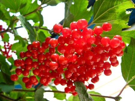 bush to grow up: The image of cluster of a red ripe guelder-rose Stock Photo