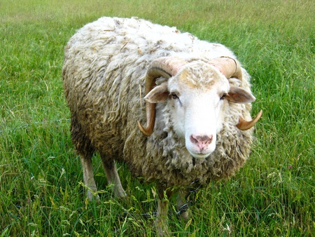 The image of ram standing on the green grass Stock Photo - 16627751
