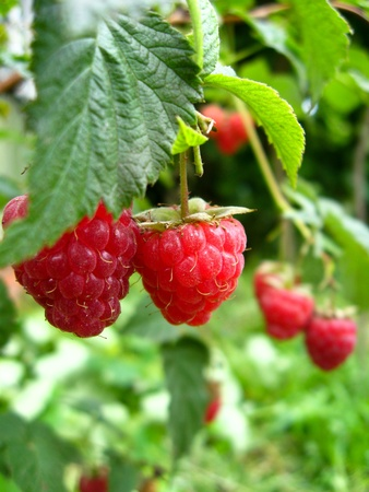 the bunch of red ripe and tasty raspberry photo