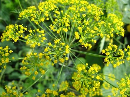 yellow flowers of fennel growing on a bed