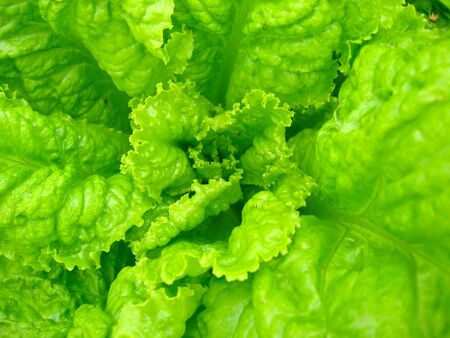 The image of green leaves of useful lettuce photo