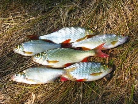 rudd: The image of beautiful caught rudd laying on a grass Stock Photo