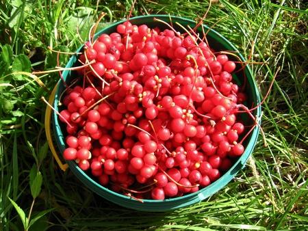 Het beeld van de oogst van rode schizandra in emmer