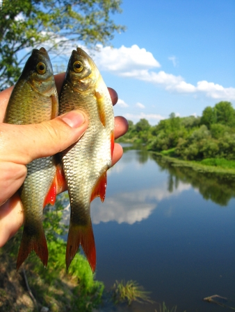 two caught ruddes in a hand on the background of river Stock Photo - 17038262