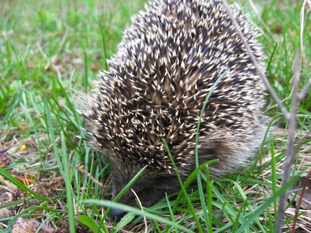 small hedgehog in a green grass photo
