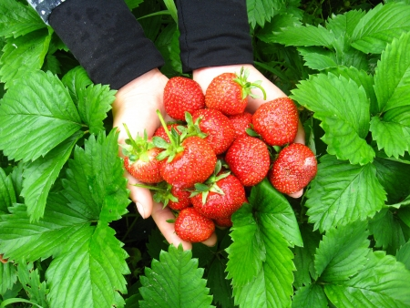 The image of palms full of strawberries photo