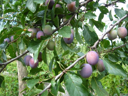 Fruits of plum hanging on a tree