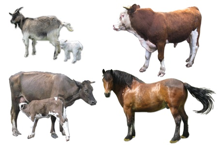 domestic animals cow with calf, horse, goat and bull on the white background photo