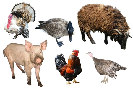 domestic animals and birds pig,turkey,goose,ram and hen on the white background Imagens