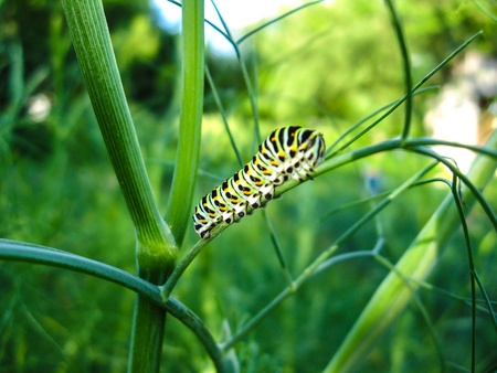 The image of caterpillar of the butterfly  machaon on the stone photo