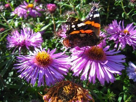 vanessa: The  graceful butterfly of  vanessa atalanta on the flower
