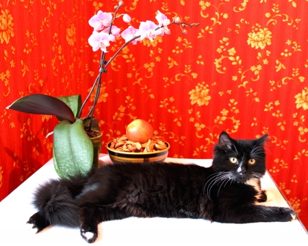 Black cat with an orchid on a red background photo