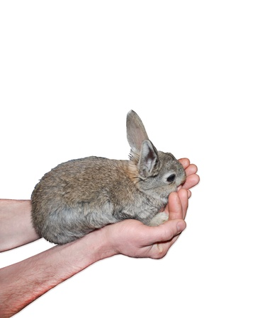inoffensive: small nice rabbit in the hand isolated on the white background