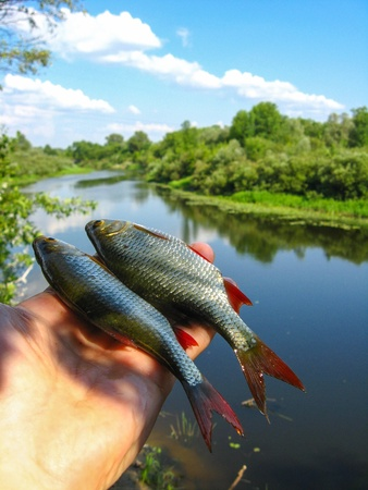 two caught ruddes in a hand on the background of river Stock Photo - 17472412