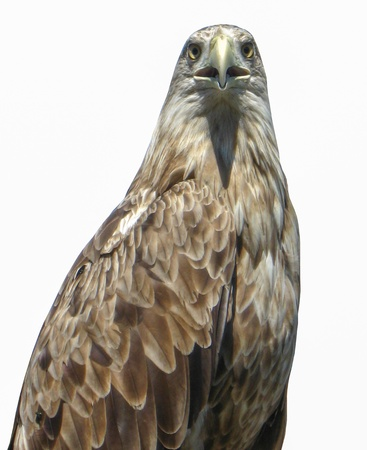 golden eagle: the image of golden eagle isolated on the white background