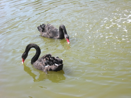 Pair of beautiful black swans on water Stock Photo - 17875441