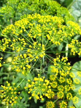 Beautiful green fennel growing on a bed photo