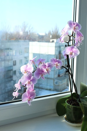 Fine branch of a blossoming pink orchid photo