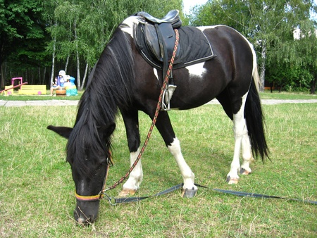 black and white pony with a saddle is grazed photo