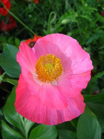 opium poppy:  beautiful flower of the poppy