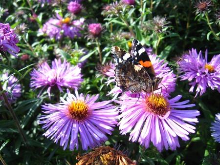 vanessa: graceful butterfly of  vanessa atalanta on the flower