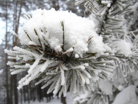 Layer of a snow on the branch of pine photo