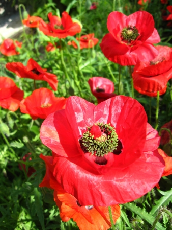 opium: image of the beautiful red flower of the poppy Stock Photo