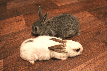 image of grey and white rabbits on the floor photo