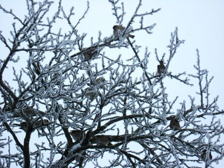 amusing sparrows on the tree with hoarfrost in winter photo