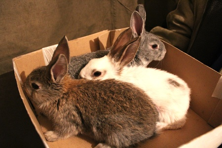 brood: image of brood of  three rabbits in the box