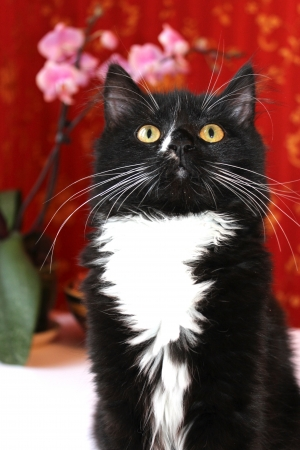 image of portrait of black cat with white chest Stock Photo - 19015435