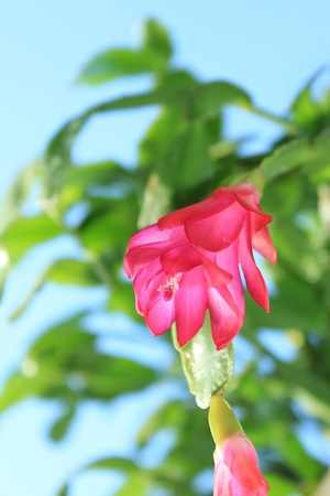Fine pink flower of Schlumbergera in a flowerpot photo