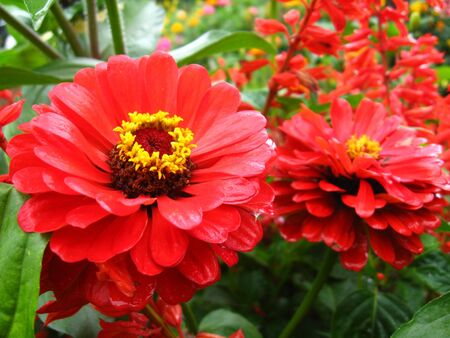 image of bed of fine red zinnia photo