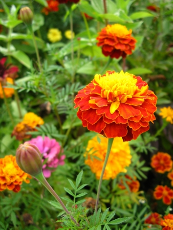tagetes: beautiful flower of motley and velvet tagetes