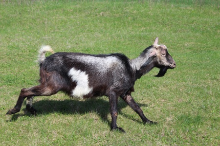image of goat running on a green pasture Stock Photo