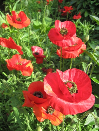 morphine: image of the beautiful red flower of red poppy