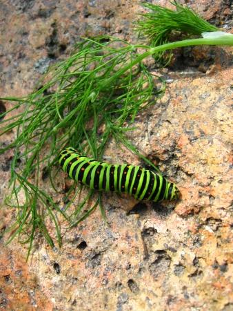 image of caterpillar of the butterfly  machaon on the stone photo