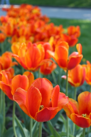 image of orange tulips on the flower-bed photo