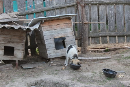house trained: image of dog on a chain eating near the kennel