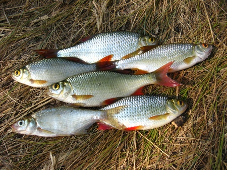 cypriniformes: image of beautiful caught rudd laying on a grass