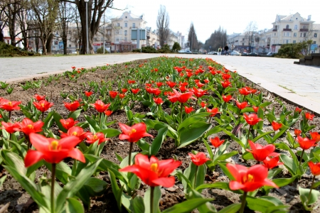 image of red tulips on the flower-bed photo