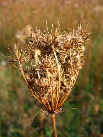 hemlock: image of dry umbel of flower of cicuta