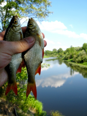image of two caught ruddes in hand Stock Photo - 20087277