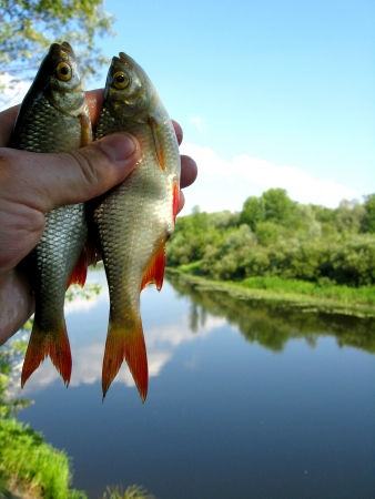 image of two caught ruddes in hand Stock Photo - 20087396
