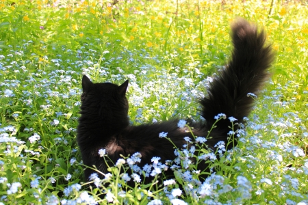 unruffled: black cat in the bed of blue forget-me-not