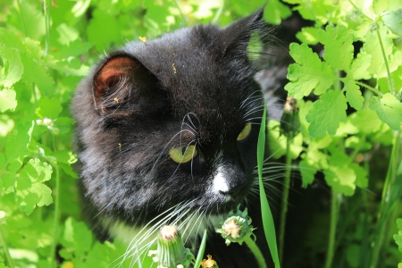 unruffled: image of black cat with white tie in the bush