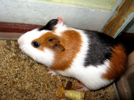 the image of little beautiful brown guinea-pig photo