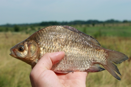 image of caught big crucian in hand Stock Photo - 20762757